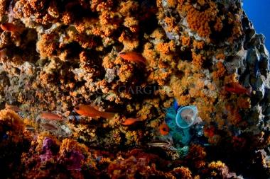 Ros buco Parazoanthus e Apogon M 0455 copia